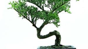Tout connaître sur l'entretien du bonsaï